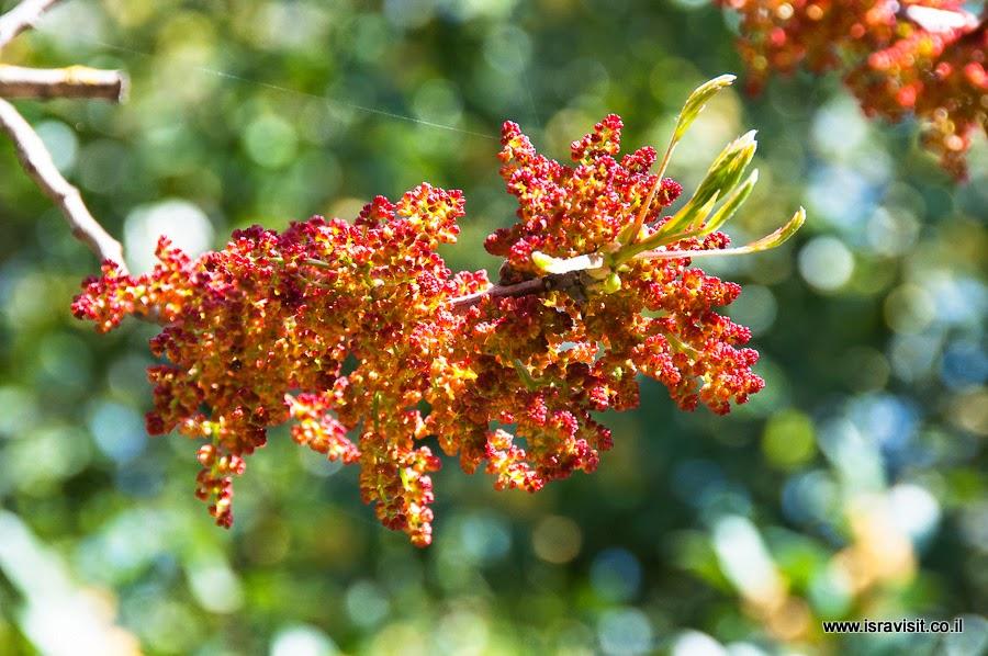 Цветы фисташкового дерева.