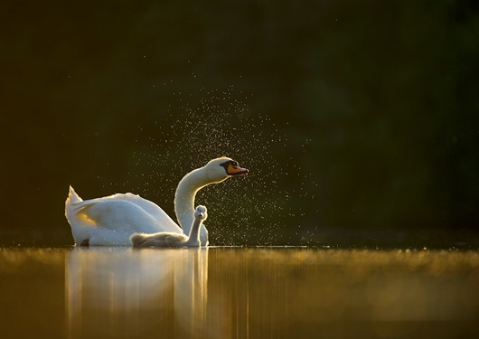 Mute swan Cygnus olor<br />An adult with a young cygnet, backlit by evening sunlight, shakes water from its head<br />Derbyshire, UK