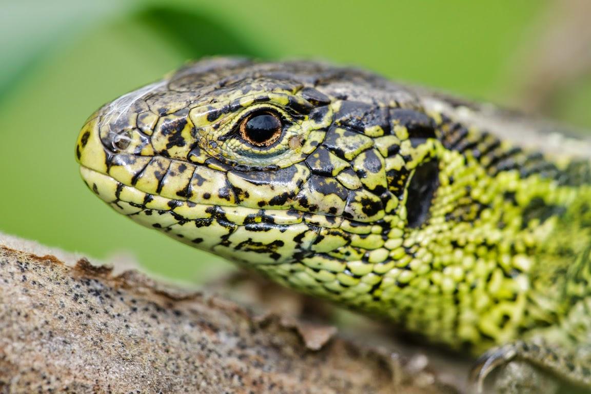 jaszczurka zwinka, kalendarz przyrodniczy na rok 2015