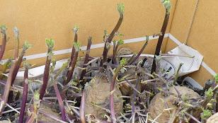 発芽し放題のジャガイモ