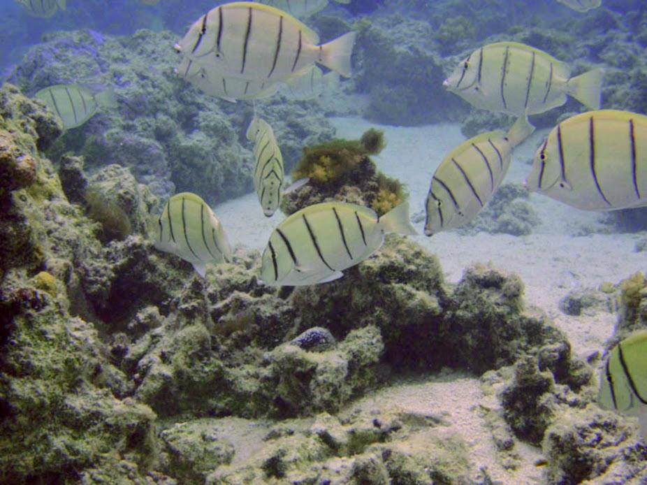 Acanthurus triostegus (Convict Tang), Aitutaki