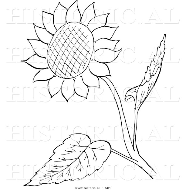 Historical Vector Illustration Of Sunflower With Seeds And Leaves   Outlined Version