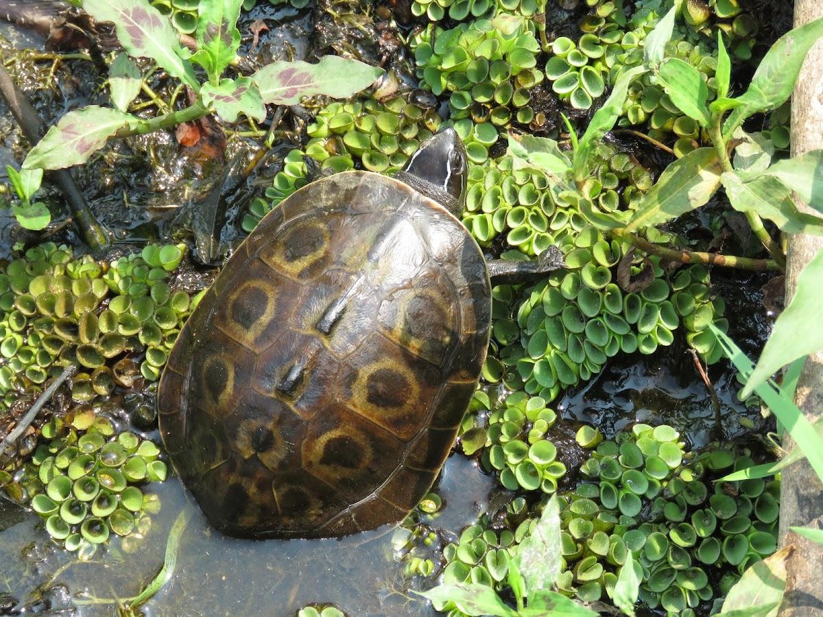 Amboina Box Turtle