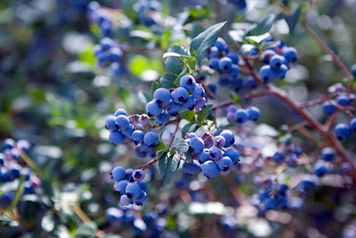 Khasiat Blueberry Untuk Diabetes