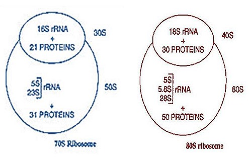 ribiosomes-structure-function (4)