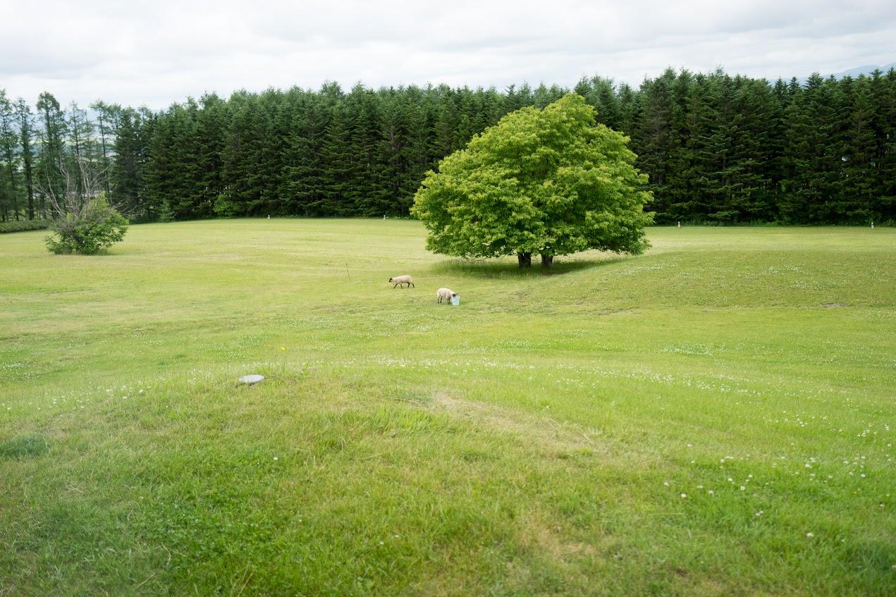 窓に広がる緑の芝生で戯れる羊ちゃんたち