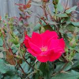 Gardening 2011 - 100_7189.JPG