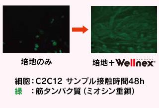 コラーゲンペプチド摂取による筋肉への効果