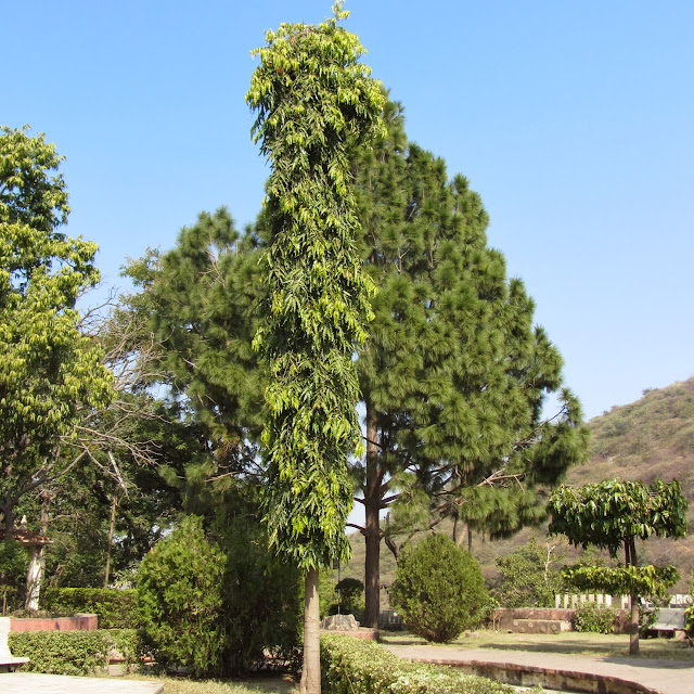 Trees, Deen Dayal Park, Udaipur