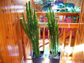 Wilczomlecz trójżebrowy Euphorbia trigona in pot
