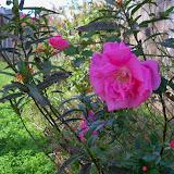 Gardening 2013 - 115_9986.JPG
