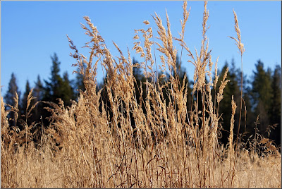 Gräs på myrodling