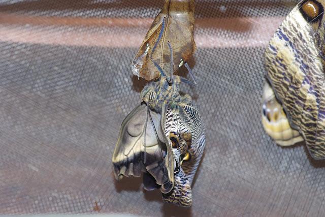 Émergence du second imago (mâle) de Caligo oileus oileus C. Felder & R. Felder, 1861, une heure après le premier. Paris, le 28 décembre 2015. Photo : J.-M. Gayman