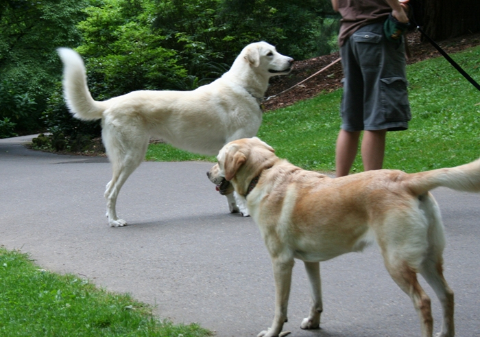 cabana looking at a big white dog, looks like a fluffy lab but is really an anatolian shepherd