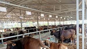Kualitas Super, 400 Ekor Sapi Qurban Asal Bali Transit di Pulojaya