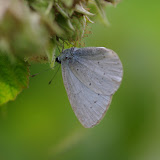 Celastrina argiolus (Linnaeus, 1758). Les Hautes-Lisières (Rouvres, 28), 8 septembre 2015. Photo : J.-M. Gayman