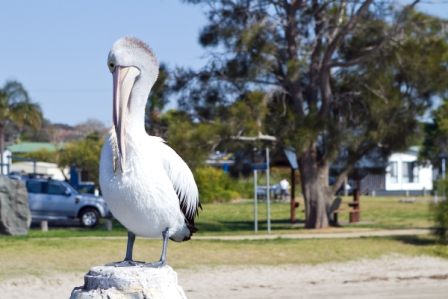 Another Greenwell Point Pelican