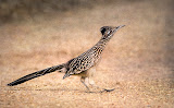 """""""Road Runner"""" by Witta Priester - A General"""