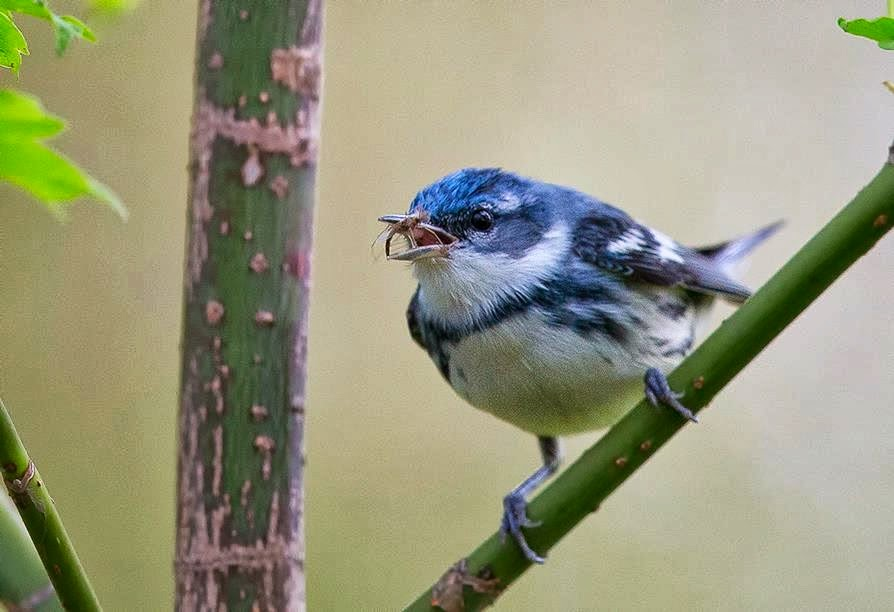 Male Cerulean Warbler, By Tropical Birding.