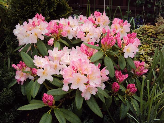 https://lh3.googleusercontent.com/-ilusJXiVVXg/UZZc73FpCKI/AAAAAAAAA00/_4iNooHSZ00/s640/Rhododendron%2520%2527Percy%2520Wiseman%2527.JPG