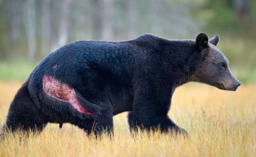 Urso pardo vs Urso polar - Página 2 Ff3f87b951c5345b