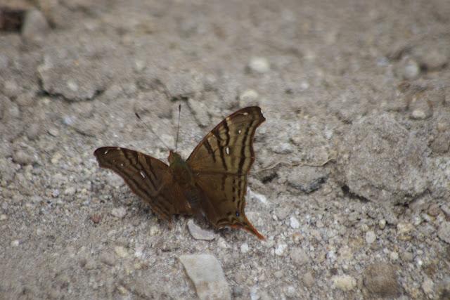 Hypanartia dione dione (LATREILLE, [1813]). Tandayapa près de Nanegalito, 1700 m (Pichincha, Équateur), 12 décembre 2013. Photo : J.-M. Gayman