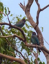 Dollar birds