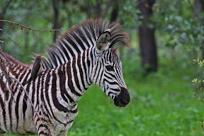 Baby Zebra with Oxpicker, Zambia