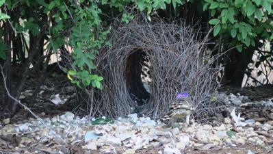 Bower Bird Plumage