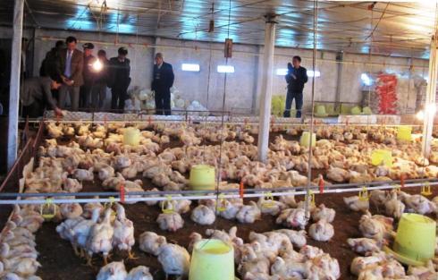 Hướng dẫn kỹ thuật chăn nuôi gà công nghiệp - 55bdddc21babd