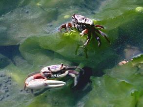 Photo: Fiddler Crabs