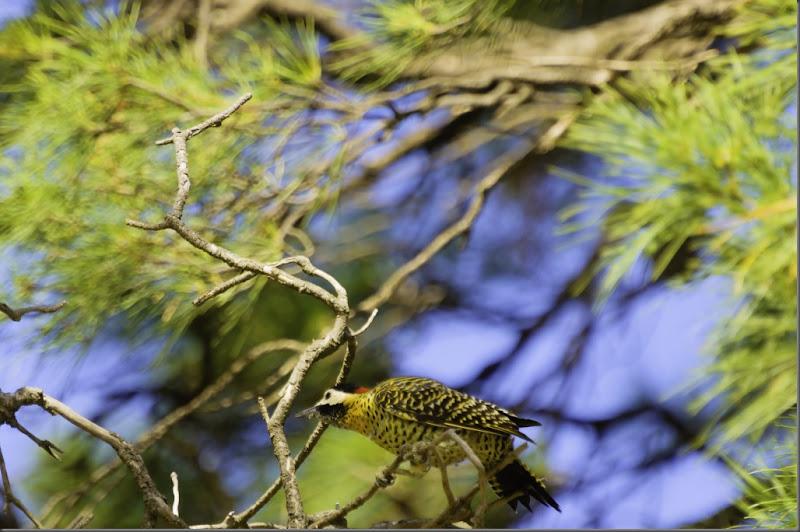 pájaro carpintero real_pc