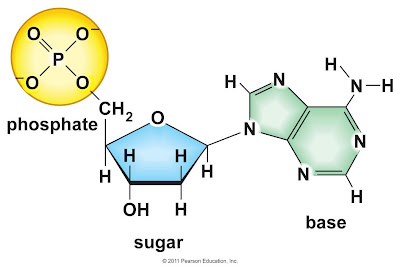 The Nucleotides Are Made Of A Nitrogen Base Either Adenine Guanine Thymine Or Cytosine A Phosp And A 5 Carbon Sugar