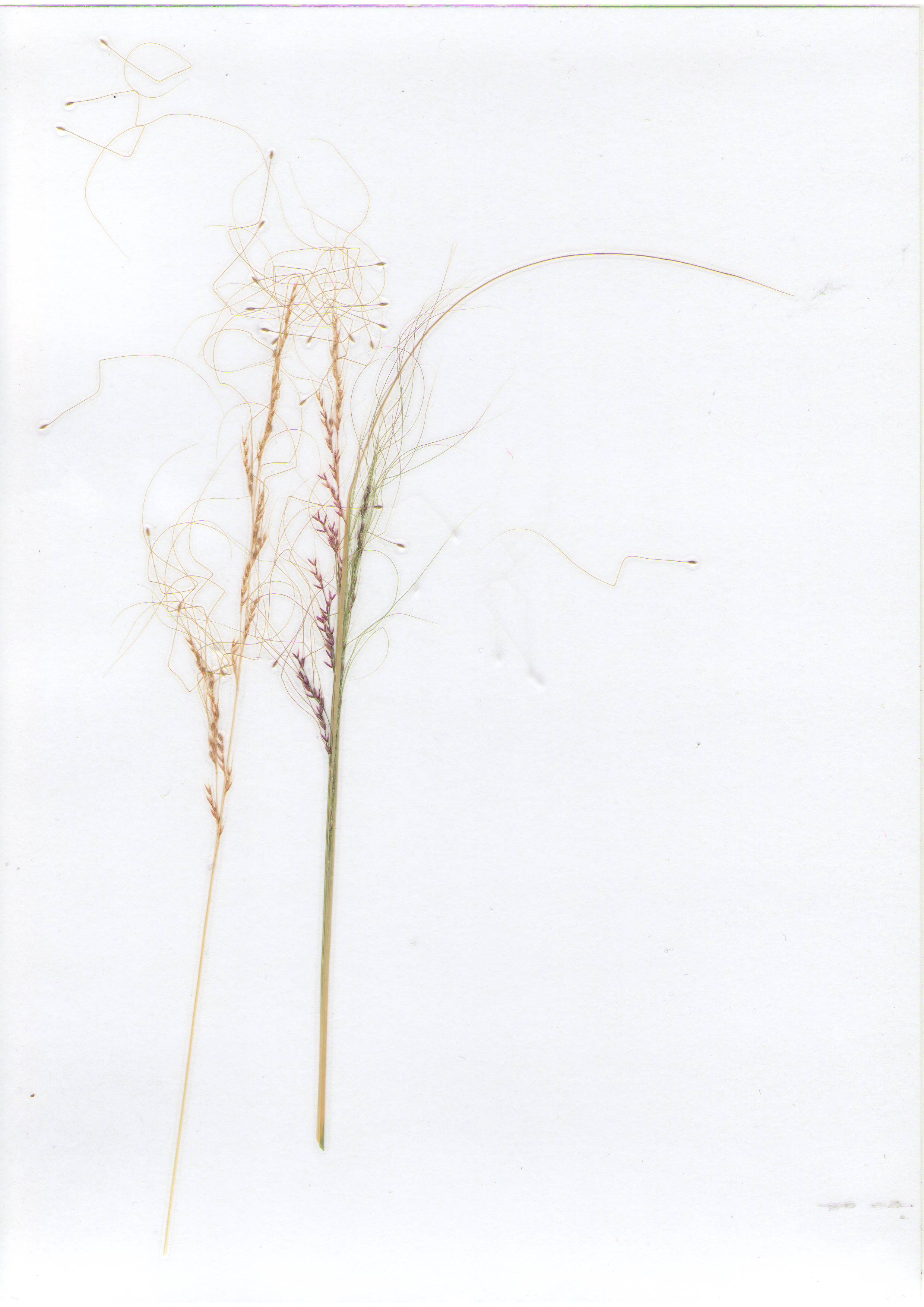 �ов�л� �он�ай�ий Stipa tenuissima