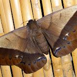 Saturniidae : Arsenurinae : Arsenura delormei Bouvier, 1929, femelle. Jardin de l'Hôtel Jalata, Caranavi, 600 m (Yungas, Bolivie), 16 décembre 2014. Photo : Jan-Flindt Christensen