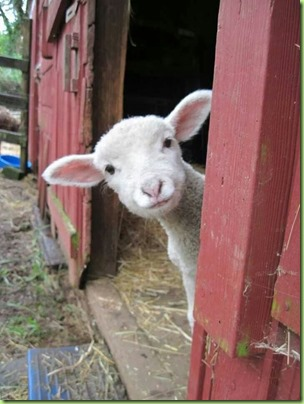 lamb sheep2