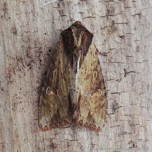 Clouded-bordered-brindle