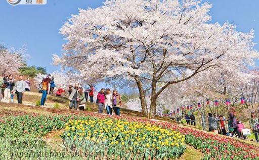 到韓國賞櫻花成為港人近年外遊的熱門選擇。(資料圖片)