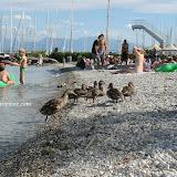 Petite balade estivale des palmipèdes dans la jungle humaine. Port Choiseul - Genève canton - Suisse