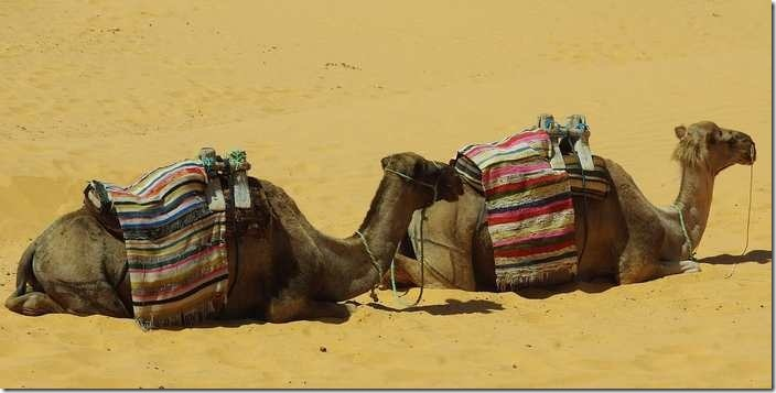 The islamic meaning of camel in dream
