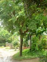Cây móng bò - cây bóng mát cho hoa đẹp