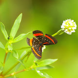Amarynthis meneria CRAMER, 1776. Piste de Coralie (Guyane). 26 novembre 2011. Photo : J.-M. Gayman