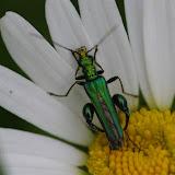 Oedemeridae : Oedemera nobilis (SCOPOLI, 1763), mâle. Les Hautes-Lisières (Rouvres, 28), 15 juin 2012. Photo : J.-M. Gayman