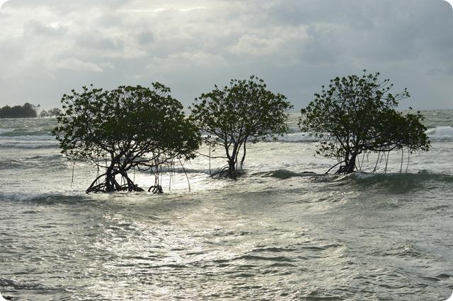 Tiga batang pohon bakau di Pulau Umang