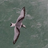 Black-legged Kittiwake at Niagara Falls in December, 2012 (Greg Piasetzki)
