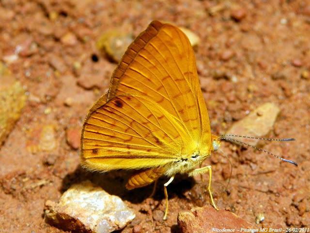 Riodinidae : Helicopini : Emesis diogenia PRITTWITZ, 1865, ou bien Emesis aurelia BATES, 1867. Pitangui (MG, Brésil), 26 février 2011. Photo : Nicodemos Rosa