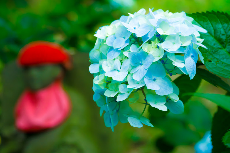 Hydrangea flowers at Takahatafudoson Kongoji Temple18