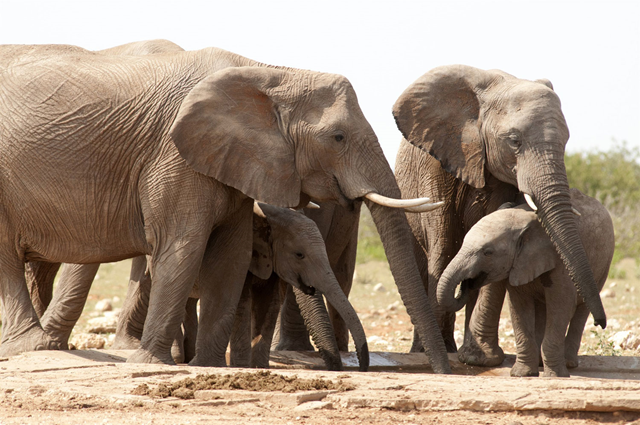 African elephants are listed as vulnerable by the International Union for Conservation of Nature (IUCN), as the animals are poached for their ivory tusks. Photo: Peter Prokosch / UNEP GRID Arendal