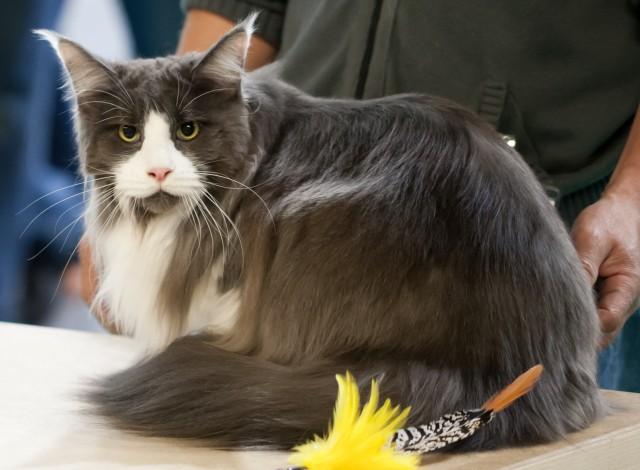 Mua mèo Maine Coon giá bao nhiêu? Bán mèo Maine Coon ở Hà Nội và TPHCM
