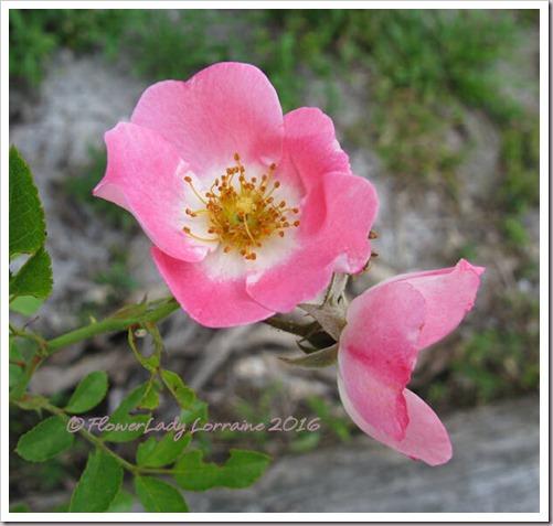 04-19-barnhouse-rose